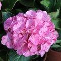 Hortensia macrophylla  'Sweet Fantasy' - Hydrangea