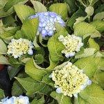 Hortensia macrophylla 'Renate Steiniger'