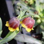 Fritillaria michailovskyi - Fritillaire