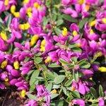 Polygala chamaebuxus Grandiflora