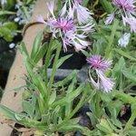 Centaurée - Bleuet - Centaurea montana 'Carnea'