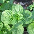 Menthe à feuilles rondes - Mentha rotundifolia