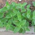 Menthe verte fraise - Mentha