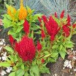 Celosia argentea plumosa - Célosie