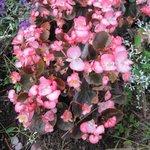 Bégonia semperflorens