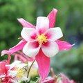 Ancolie 'Crimson Star' - Aquilegia