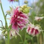 Ancolie vulgaris 'Nora Barlow' - Aquilegia