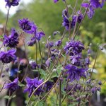 Ancolie 'Blue Barlow' - Aquilegia
