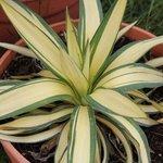 Yucca gloriosa 'Rainbow' - Yucca glorieux