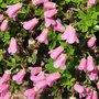 Rhododendron campylogynum Myrtilloides