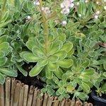Saxifrage 'Southside Seedling' - Saxifraga