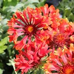 Gaillarde grandiflora 'Tizzy' - Gaillardia