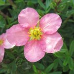 Potentille fruticosa 'Pink Beauty' - Potentilla