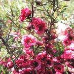 Leptospermum scoparium - Myrte de Nouvelle Zélande