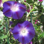 Ipomée pourpre 'Morning Glory' - Ipomoea purpurea