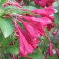 Weigelia 'Red Prince' - Weigela