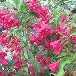 Weigelia 'Red Prince' - Weigela