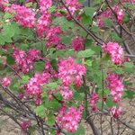 Groseillier à fleurs - Ribes sanguineum