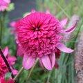 Echinacée 'Southern Bells' - Echinacea