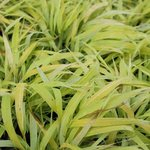 Hakonechloa macra 'All Gold' - Herbe du Japon