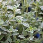 Thym citron argenté - Thymus