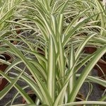 Chlorophytum - Phalangère - Plante araignée
