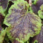 Heucherella' Solar Eclipse'