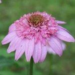 Echinacée 'Secret Romance' - Echinacea