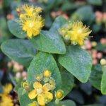 Millepertuis - Hypericum inodorum 'Kolmbeau'
