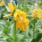 Fritillaria imperialis 'Lutea' - Fritillaire impériale