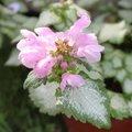 Lamium maculatum 'Pink Chablis'