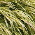 Hakonechloa macra 'Aureola' - Herbe du Japon