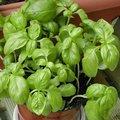 Basilic 'Grand Vert'