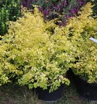 Ligustrum 'Lemon Lime'