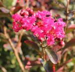 Lagerstroemia indica 'Red Imperator' - Lilas des Indes