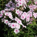 Phlox paniculata 'White Eye Flame'