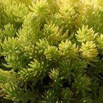 Sedum 'Lemon Ball' - Orpin