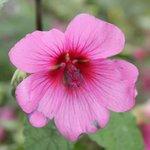 Anisondotea capensis 'El Rayo' - Mauve arbustive du Cap