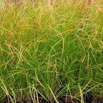 Carex testacea 'Prairie Fire' - Graminée