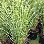 Miscanthus sinensis 'Gold Bar' - Graminée