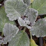 Sauge argentée - Salvia argentea