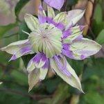 Clématite florida 'Taïga'