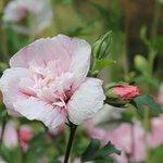 Althéa - Hibiscus syriacus 'Pink Chiffon'