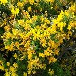 Coronille arbustive - Coronilla glauca