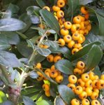 Pyracantha - Buisson ardent