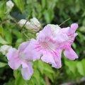 Podranea ricasoliana - Bignone rose