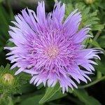 Stokesia laevis 'Purple Parasol'
