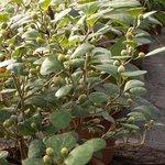 Ficus diversifolia - Ficus deltoïdea - Figuier d'intérieur