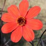 Dahlia 'Mystic Enchantement'