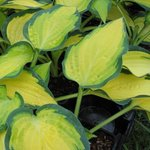 Hosta Orange Marmelade